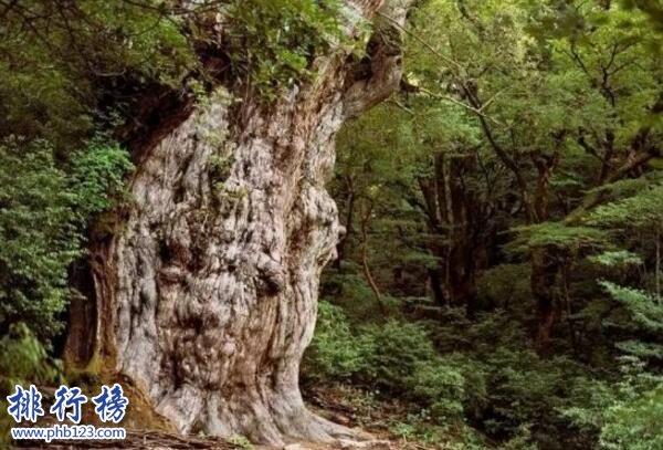 世界上的十大古树
