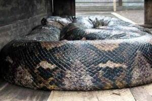 世界上最大的蛇是什么蛇,印尼巨蟒重达894斤(一口整吞活人)