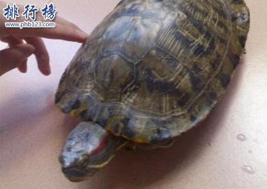 世界上智商最高的乌龟:巴西龟,能辨别主人