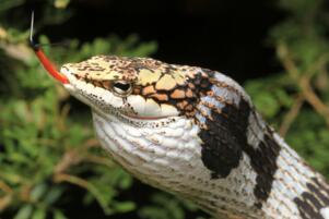 世界上最恐怖的蛇 眼镜王蛇垫底,非洲腾蛇毒性无药可治