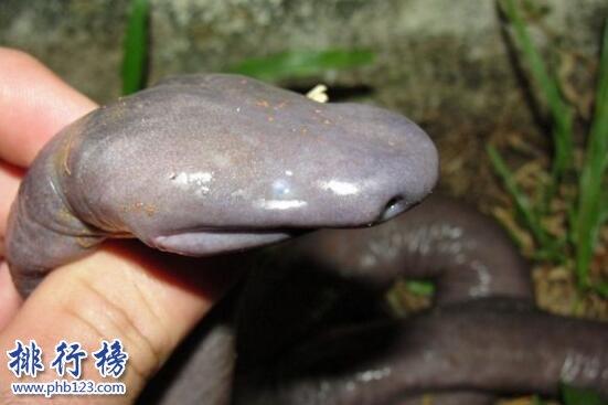 世界上最丑的蛇:巴西盲蛇形似男性生殖器(图片恶心慎入)