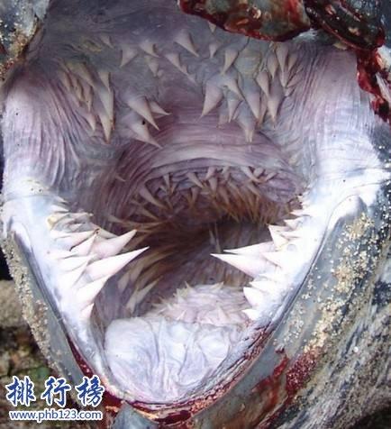 世界上最可怕的乌龟:棱皮海龟口内布满数千根尖齿