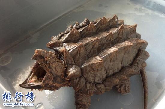 世界上最凶的乌龟:鳄龟,乌龟中的霸王龙(一口咬爆菠萝)