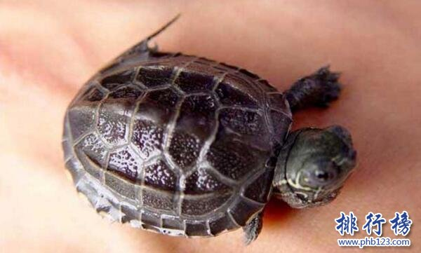 世界上最可爱的乌龟:猪鼻龟大眼萌面(深水龟玩家的最爱)