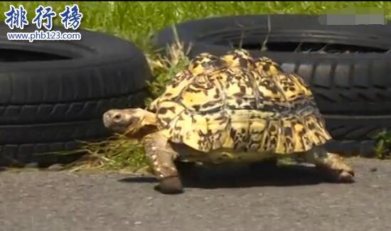 世界上跑的最快的乌龟:南非豹纹陆龟Bertie0.28米/秒,打破龟界记录