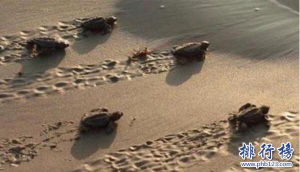 世界上跑的最慢的乌龟:海龟每小时移动70米