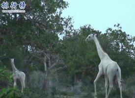 世界上罕見的長頸鹿:白色長頸鹿 安靜似天仙