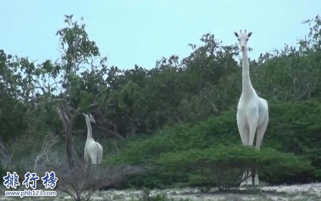 世界上罕见的长颈鹿:白色长颈鹿 安静似天仙