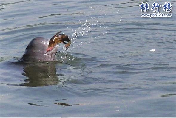 世界上最小的鲸鱼:体长最大1.6米,长江江豚濒临灭绝