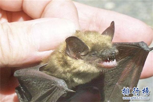 世界上最小的蝙蝠:体长不到3厘米,体重仅2克