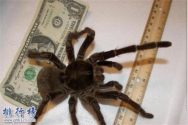 世界上最小的蜘蛛:体型0.043厘米,比句号还要小