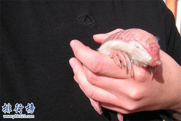 世界上最小的犰狳:周身粉红色,体重不过100克