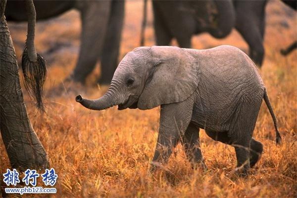 世界上最小的大象:小姐象体型跟猫差不多