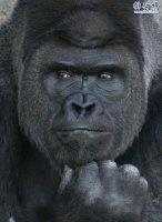 日本史上最帅大猩猩沙巴尼 女粉最多 网友:可以出道了