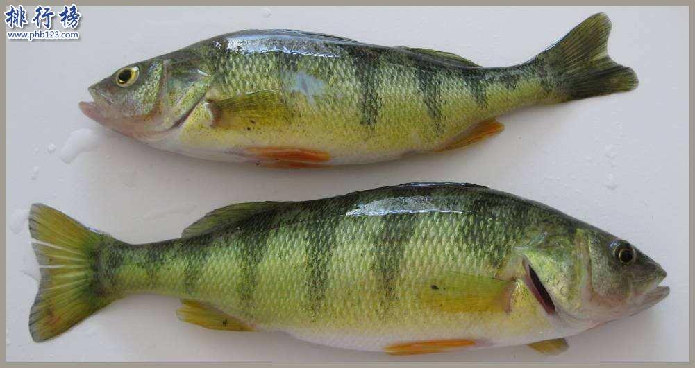 美国最著名的鲈鱼:黄金鲈鱼是什么品种 可以吃吗?