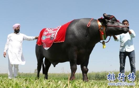 世界上最值钱的种牛:爱喝威士忌 精液值1000万