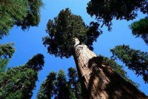 世界上最能储水的树:杏仁桉树,储水量相当于一片沼泽地