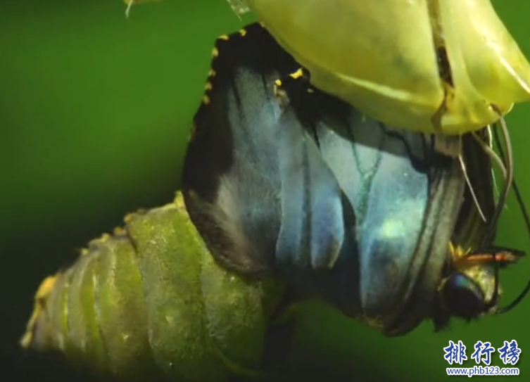 世界上最大的蝴蝶:传说中的蓝默蝶竟是最大的蝴蝶