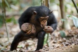 世界上记忆力最好的动物排行榜:黑猩猩记忆力超过大学生