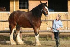 世界十大重型马排名:第7来自中国 第一体重1.8吨