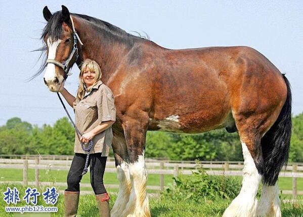 世界十大重型马排名,夏尔马身高2米体重1.8吨