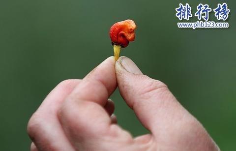 世界上最辣的辣椒:龙息辣椒 舔一口会休克