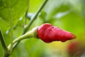 世界上最辣的十大辣椒:死神辣椒第二 第一名可致死