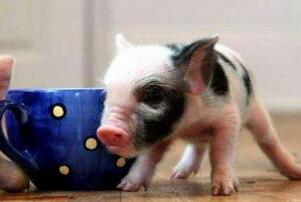 茶杯猪,世界上最小的猪(体长30厘米重30公斤)