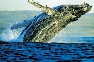 世界上最大的十种鲸鱼:蓝鲸最大 第4种睾丸重500公斤