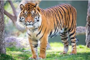 世界上最小的老虎:苏门答腊虎 体重仅为东北虎的三分之一