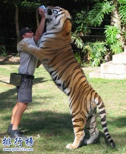 世界上最大的老虎照片图片