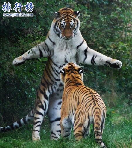 世界上最大的老虎视频图片