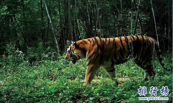 世界上最大的老虎:东北虎 体重350千克可秒杀非洲狮