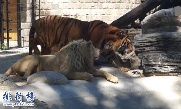 世界上最大的老虎排名图片