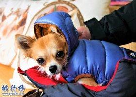 最怕冷的十种狗排名:你家的狗在吗?赶紧加衣服
