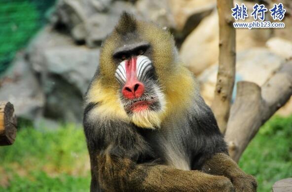 世界上最好看的猴子:山魈,面部色彩鲜艳图案似京剧脸谱