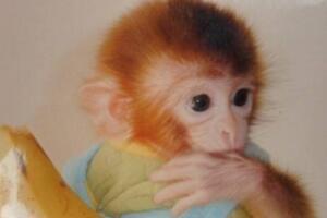 世界上最可爱的猴子:日本袖珍石猴,最大不超过可乐瓶
