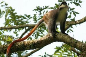 世界上尾巴最长的猴子:狄安娜长尾猴,尾巴可长达75厘米