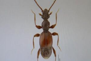 全球昆虫新物种:双斑粗角步甲一员 可喷60℃高温化学物质