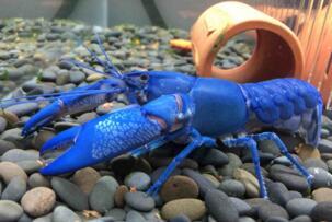 世界上最大的蓝魔虾:长30CM重500克,相当于3只小龙虾(图片)