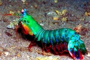 世界上最凶猛的虾:雀尾螳螂虾,可击穿防弹玻璃(视频)