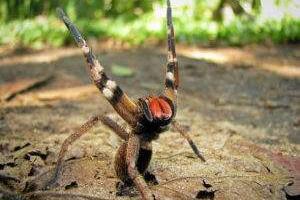 世界上最毒的蜘蛛:巴西游走蛛,毒素可导致男性永久阳萎