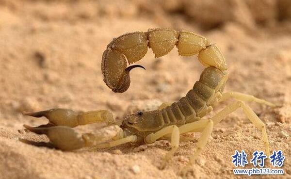 世界上最毒的蝎子:巴勒斯坦毒蝎,中东杀人狂魔(蛰一下致命)