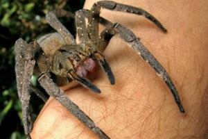 世界上十大最毒的蜘蛛排名 巴西游走蛛可使男人终生阳痿