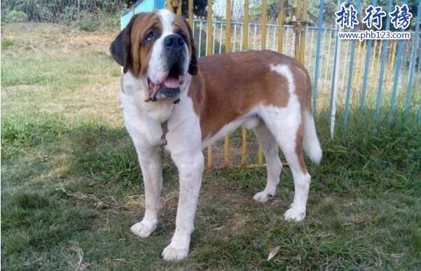 世界上最大的十个狗品种排名:大丹犬高2.2米/111公斤