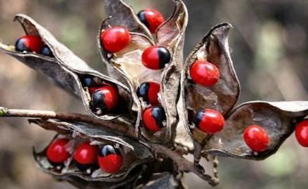世界十大毒王植物:罂粟毒品之王最害人
