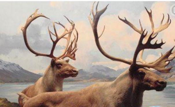 世界十大奇迹动物:爱尔兰大鹿死而复生