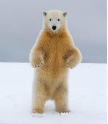 世界十大动物杀手:北极熊一巴掌可以拍到你脑浆崩裂,千万小心!