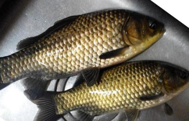 中国四大淡水鱼:青鱼/草鱼/鲢鱼/鳙鱼唯独没有鲤鱼