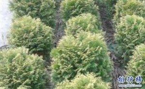 十大盆景名贵树种排名,你认识几个?